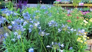 Plant perennials