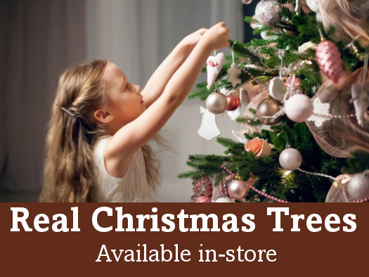 Nordman Fir Real Christmas Trees - ask in-store for details