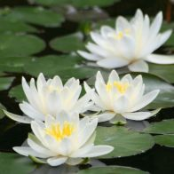 See more information about the Water Lily Planting Kit - White