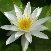 See more information about the Anglo Aquatics Nymphaea Alba 1 Litre