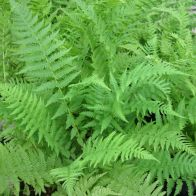 See more information about the Anglo Aquatics Athyrium Filix Femina 1 Litre