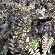 See more information about the Anglo Aquatics Athyrium Niponicum Metallicum 1 Litre