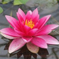 See more information about the Anglo Aquatics Nymphaea Attraction 1 Litre