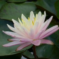 See more information about the Anglo Aquatics Nymphaea Barbara Dobbins 1 Litre