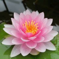 See more information about the Anglo Aquatics Nymphaea Darwin (Hollandia) 1 Litre