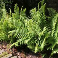 See more information about the Anglo Aquatics Dryopteris Filix-Mas 1 Litre