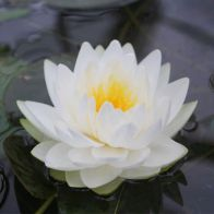 See more information about the Anglo Aquatics Nymphaea Gonnere 1 Litre