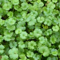 See more information about the Anglo Aquatics Hydrocotyle Nova Zealand 1 Litre