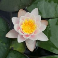 See more information about the Anglo Aquatics Nymphaea Marliacea Carnea 10 Litre