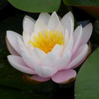 See more information about the Anglo Aquatics Nymphaea Marliacea Rosea 10 Litre