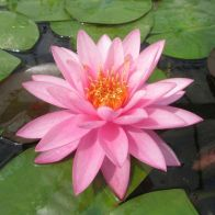 See more information about the Anglo Aquatics Nymphaea Mayla 10 Litre