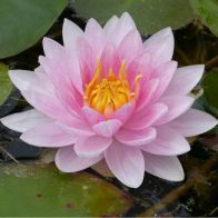 See more information about the Anglo Aquatics Nymphaea Mrs Richmond 1 Litre