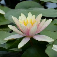 See more information about the Anglo Aquatics Nymphaea Paul Hariot 1 Litre