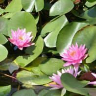 See more information about the Anglo Aquatics Nymphaea Rose Arey 1 Litre