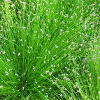 See more information about the Anglo Aquatics Scirpus Cernuus 1 Litre